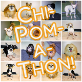 CHI-POM-A-THON YAPPY HOUR & ADOPTION EVENT!